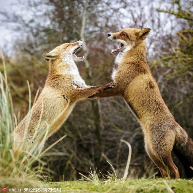 德国两只红狐狸手拉手跳起狐步舞