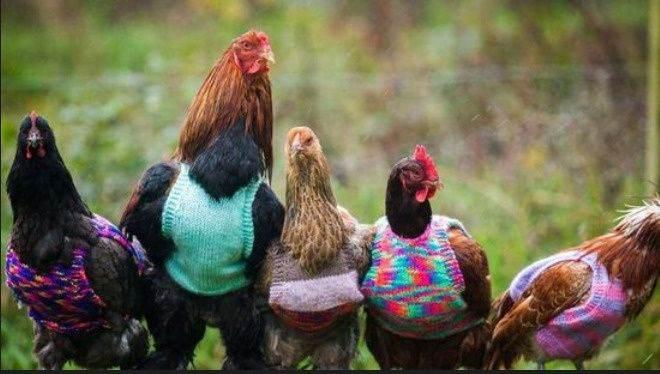 英国女主人给自家养的鸡穿毛衣过冬